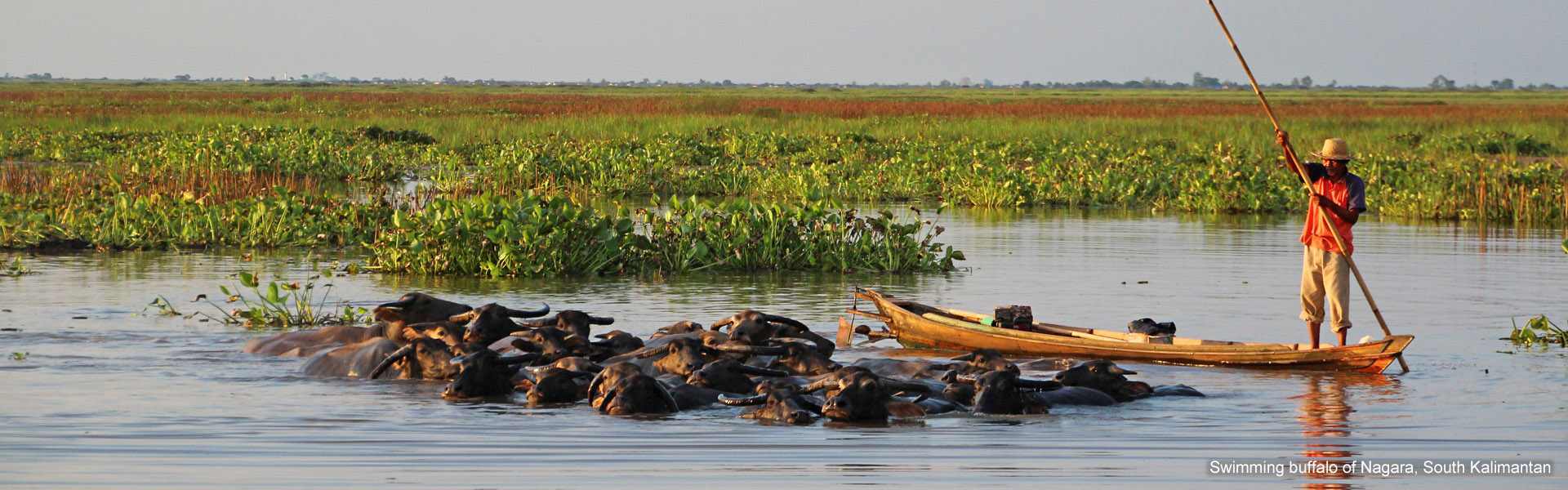 Swimming buffalo of Nagara, South Kalimantan